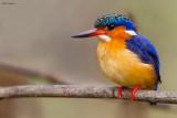 Madagascar Kingfisher