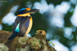 Rufous-lored kingfisher