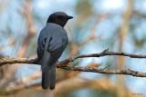 Madagascar Cuckoo-Shrike