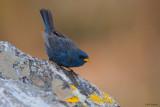 Blue Finch