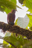 Semicollared Hawk