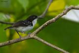 Black-and-white Antbird