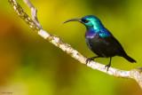 Grand Comoro Sunbird