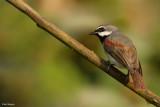 Red-tailed Vanga