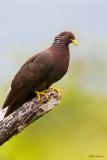 Comoros Olive Pigeon