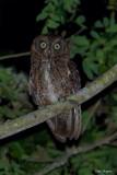 Mayotte Scops-owl