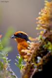 Rufous-browed Hemispingus
