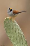 Great Inca-finch