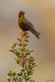 Coppery Metaltail
