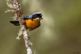 Chestnut-bellied Mountain-tanager