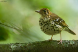 Spotted Ground-thrush