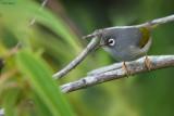 Mauritius Olive White-eye
