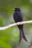 Mayotte Drongo