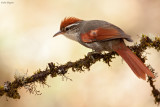Baron's Spinetail