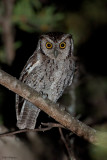 Peruvian Screech-Owl