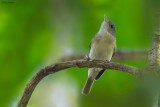 Red-tailed Newtonia