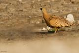 Madagascar Sandgrouse