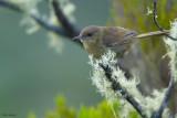 Grand Comoro Brush-warbler