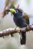 Hooded Mountain-toucan