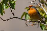 Cochabamba Mountain-Finch