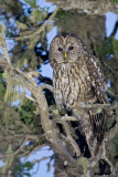 Pere David's Owl
