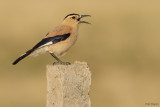 Mongolian Ground Jay