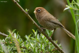 Spectacled Parrotbill