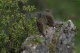 Chestnut-throated Partridge