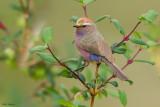 White-browed Tit-warbler