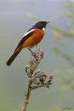 White-throated Redstart