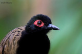 Black-spotted bare-eye
