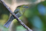 Grey-tailed Piha
