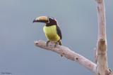 Humboldt's Aracari