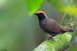Rufous-capped Antthrush