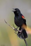 Red-shouldered Blackbird
