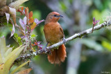 Orange-breasted Thornbird