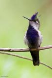 Purple-crowned Plovercrest