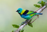 Green-headed Tanager