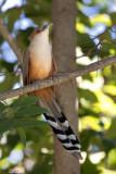 Cuban Lizard-Cuckoo