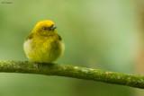 Yellow-headed Manakin