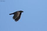 Cuban Palm Crow
