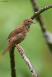 Baikal Grasshopper-warbler