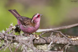Chinese white-browed rosefinch