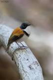 Black-banded Flycatcher