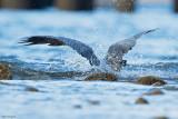 Great-billed Heron
