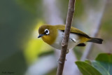 Ambon Yellow White-eye