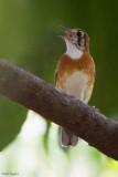 Orange-banded Thrush
