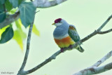 Wallace's Fruit-dove