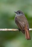 Russet-backed Jungle-flycatcher
