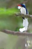 Common Paradise-Kingfisher